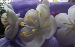 Malus coronaria flowers